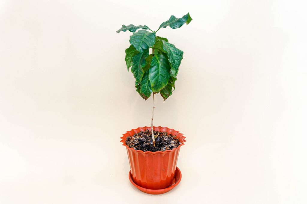 Сoffee tree in a pot isolated on light cream background