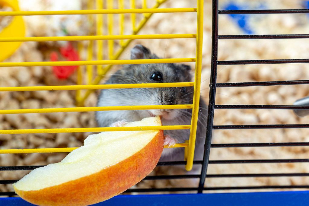 A hamster eating slice of Apple inside his cage