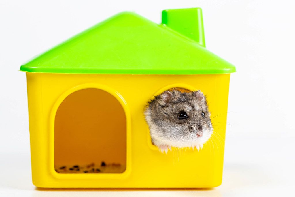 A hamster looks out the window of his house