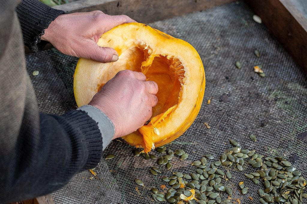 A man chooses seeds from a pumpkin