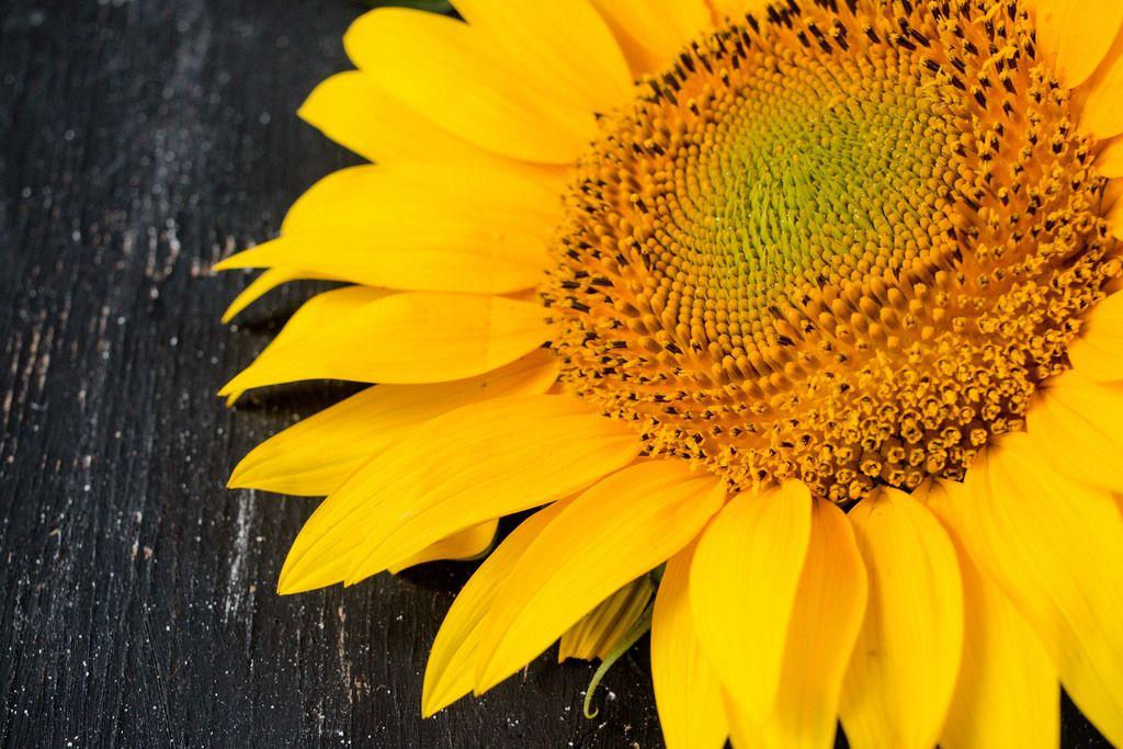 A sunflower / Sonnenblume