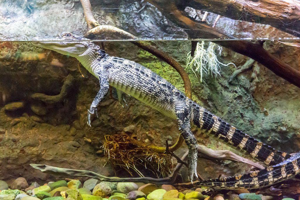 American alligator (Alligator mississippiensis) at Shedd Aquarium