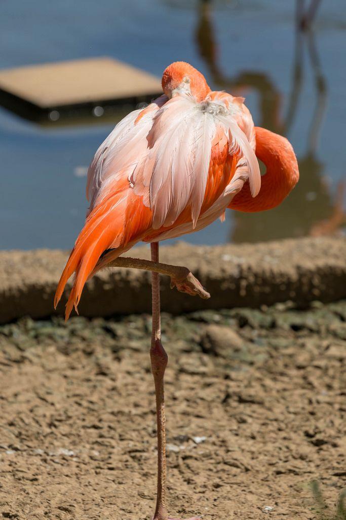 American flamingo - Phoenicopterus ruber ruber