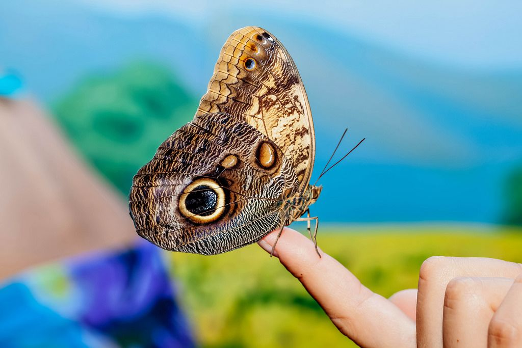 American painted lady butterfly sits on finger