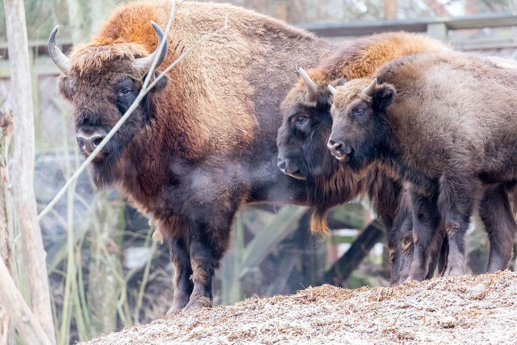 Amerikanische Bisons