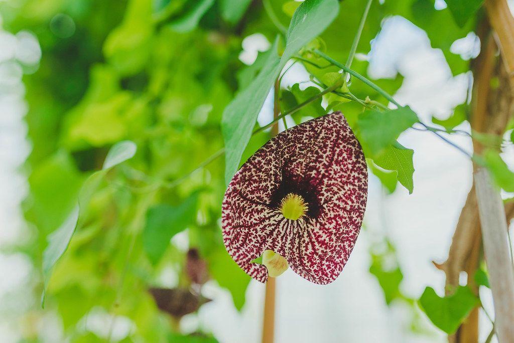 Asclepiadoideae Botanical Flower Close Up