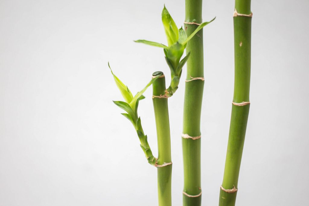 Bamboo Branch Close-Up on a White Background