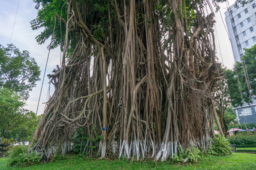 Banyan Tree in Ly Tu Trong Park in Ho Chi Minh City