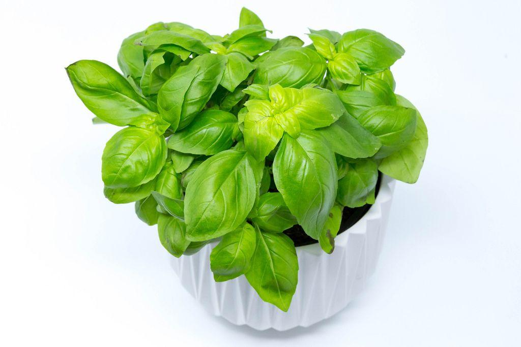 Basil plant in white pot
