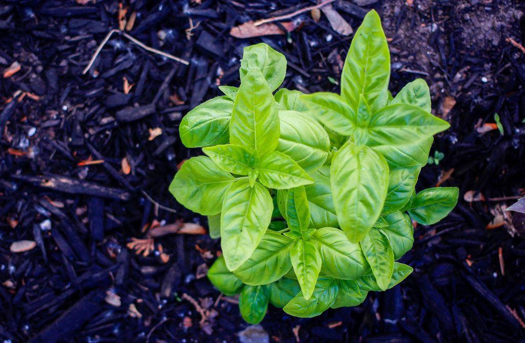 Basilikum im eigenen Garten anbauen