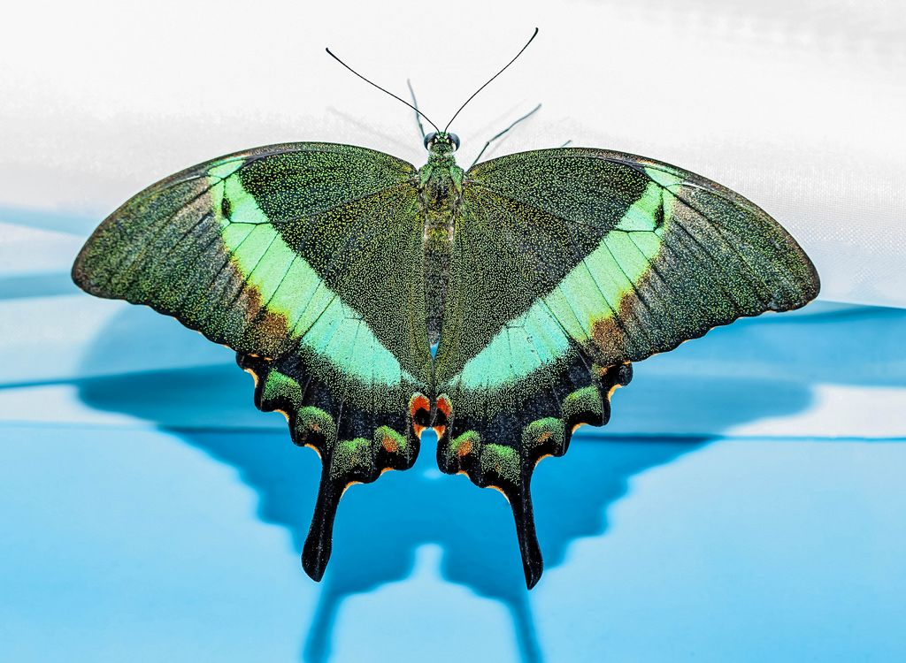 Beautiful green Papilio Palinurus butterfly