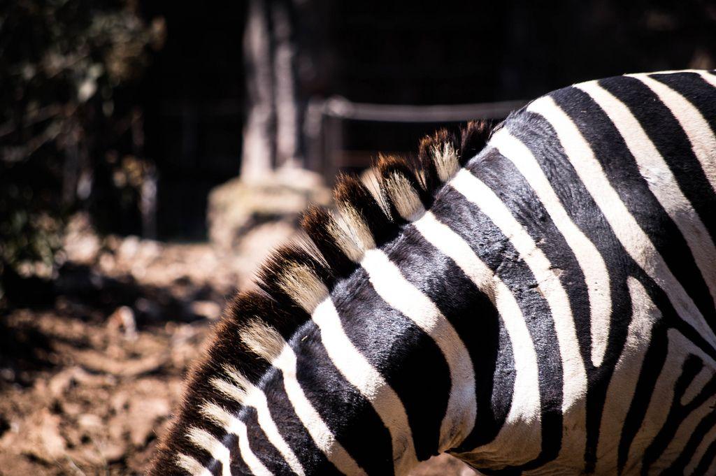 Beautiful zebra mane