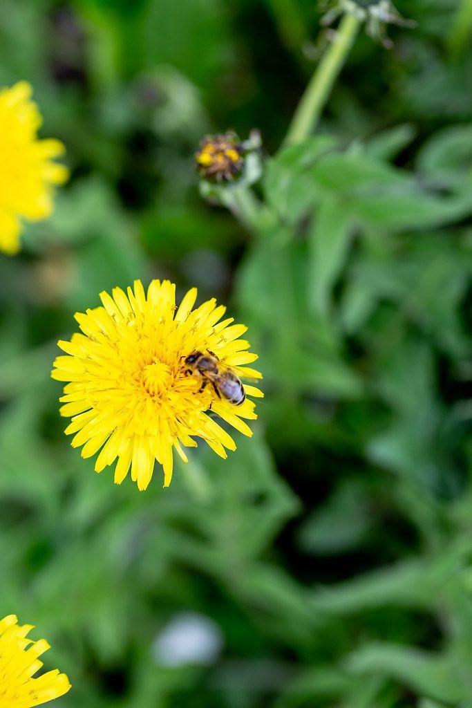 Bee on yellow dandelion flower
