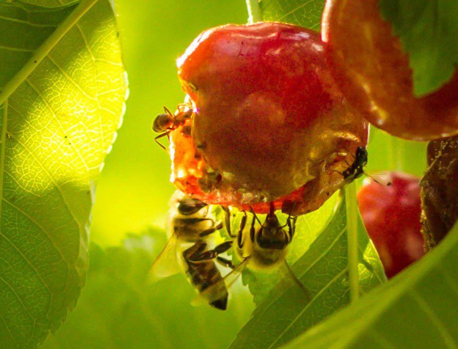 Bienen sind vom Aussterben bedroht
