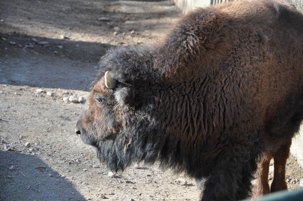 Bison im Kölner Zoo