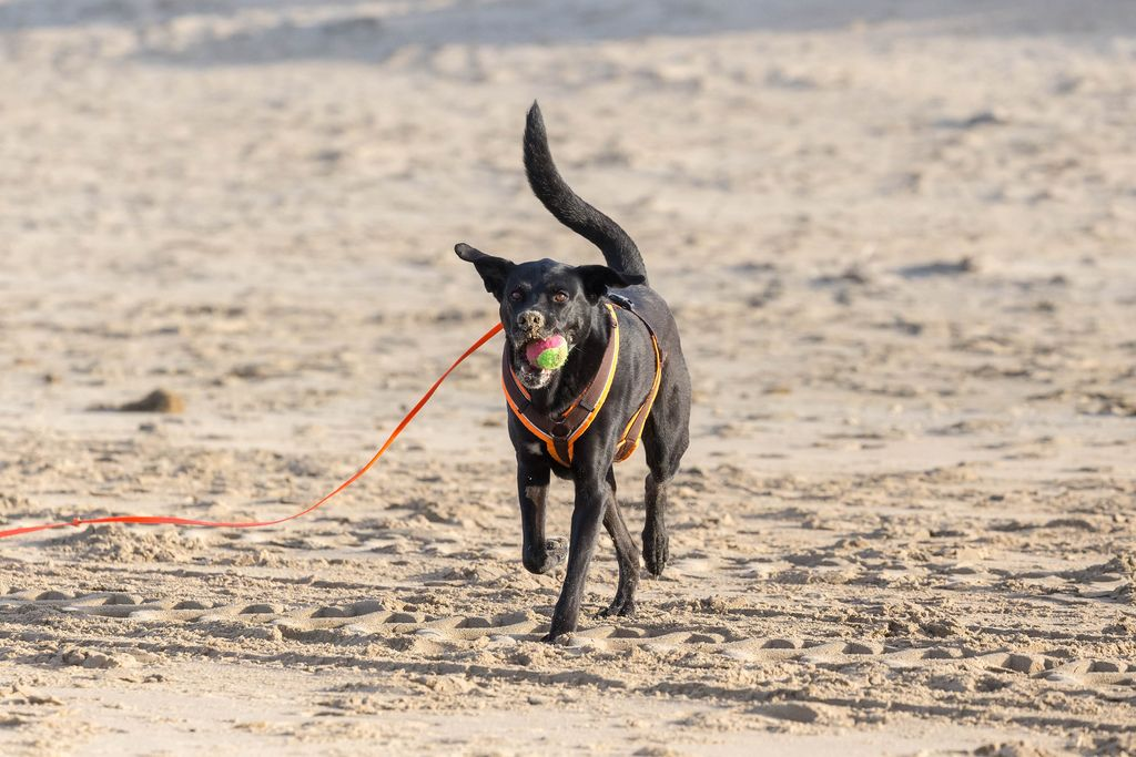 Black dog with tennis ball in muzzle runs over sandy beach