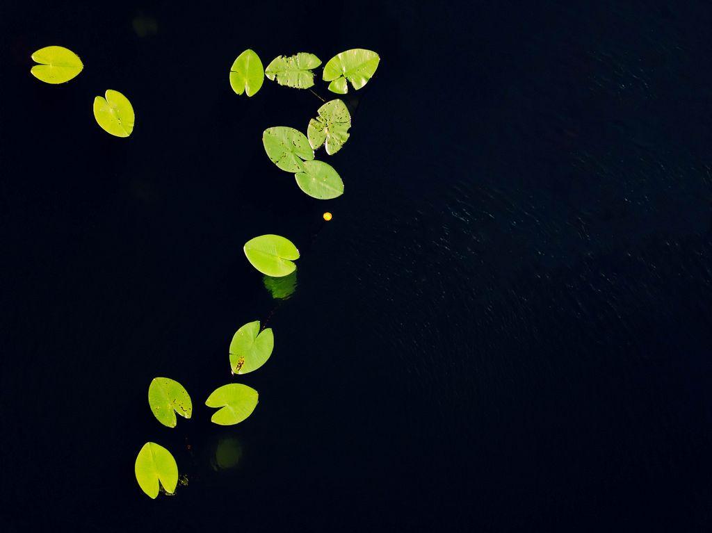 Blätter einer Seerose auf dem Wasser