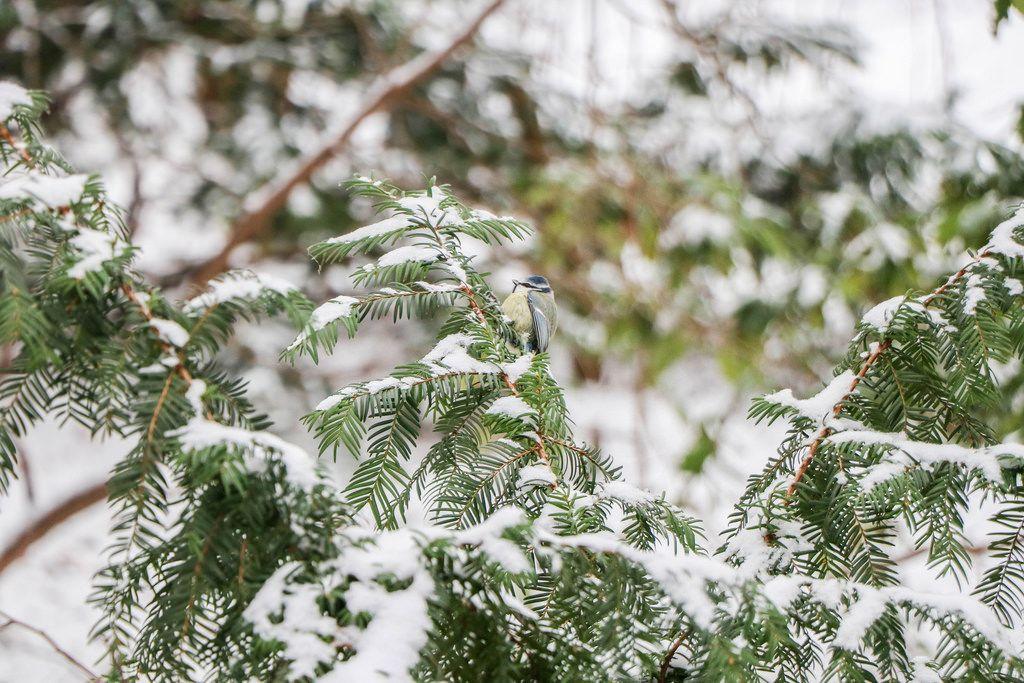 Blue tit bird in a snowy tree