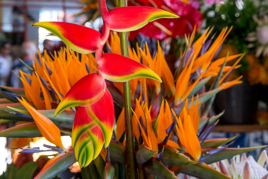 Blume: Flor de Paraiso