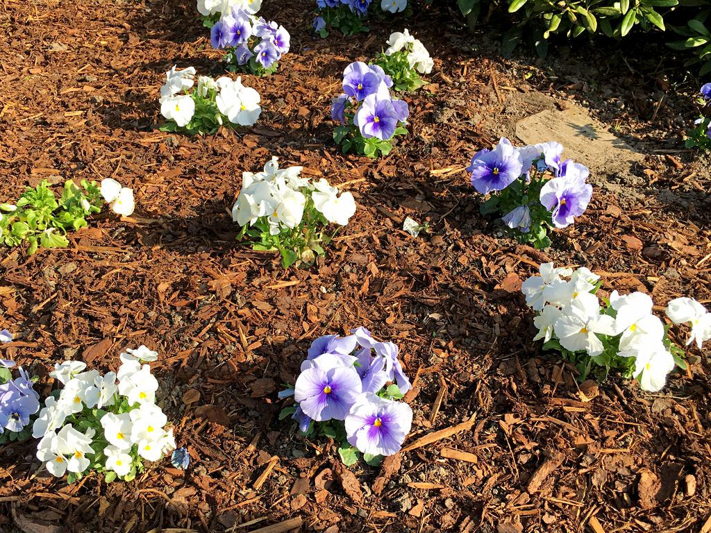 Blumenbeet im Frühling mit Stiefmütterchen