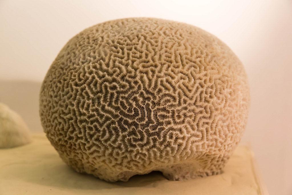 Brain Coral / Faviidae