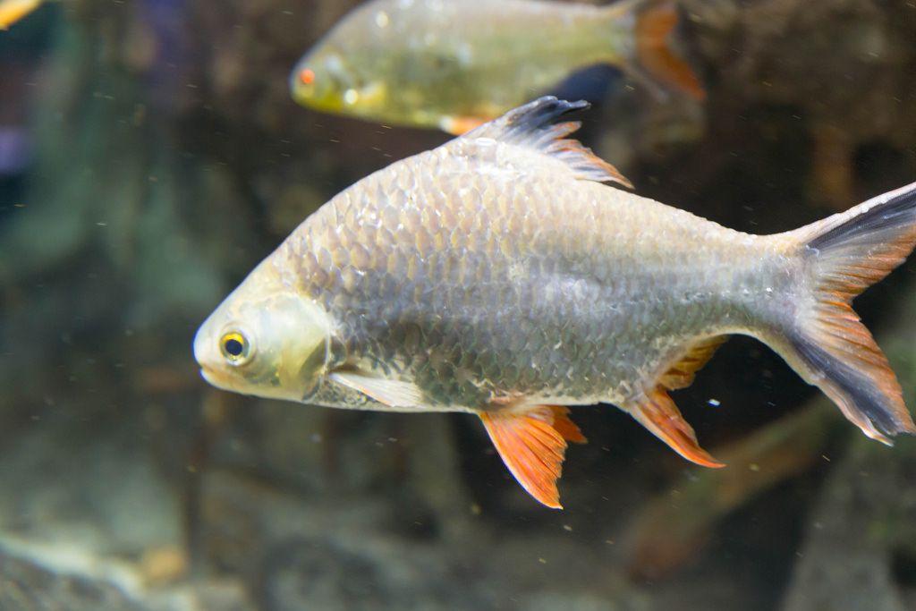 Brassenbarbe (Barbus pentazona schwanefeldi) im Shedd Aquarium