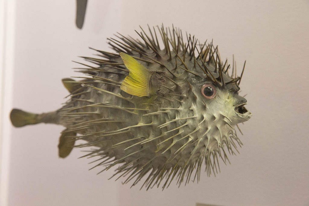 Braunflecken-Igelfisch / long-spined porcupine fish