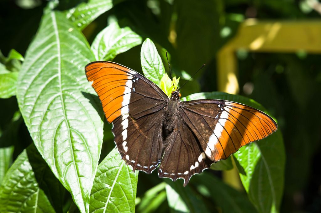 Brown and orange butterfly on leaves