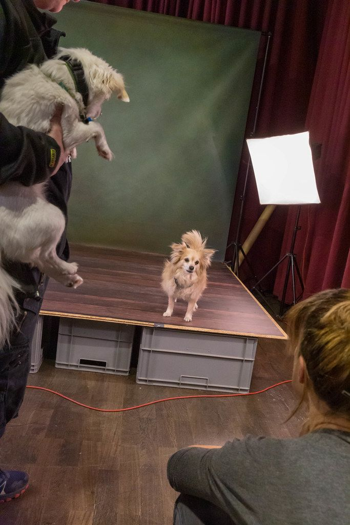 Brown Chihuahua at a professional dog photography set with a small stage and lighting at the dog fair