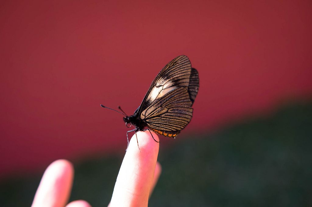 Butterfly standing on a person's finger