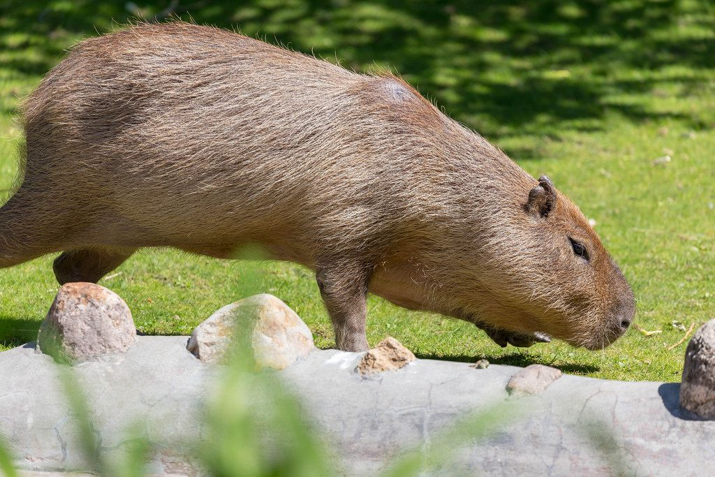Capybara im Moskauer Zoo