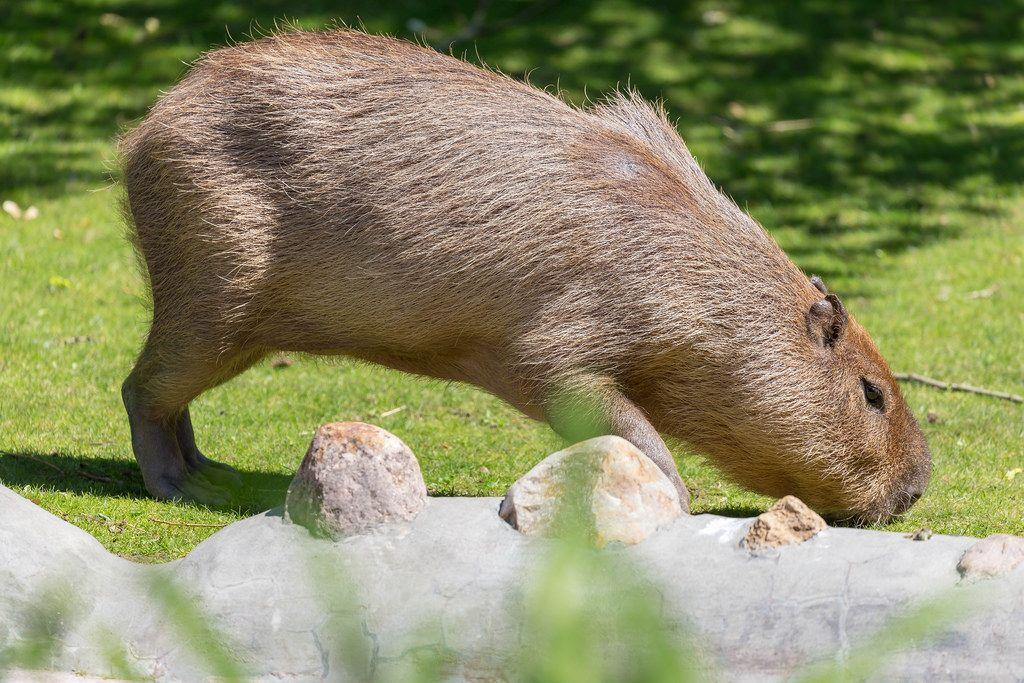 Capybara in Moscow zoo