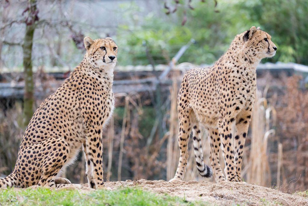 Cheetah (hunting Leopard)