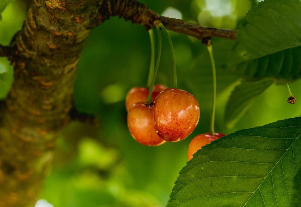 Cherries on cherry tree