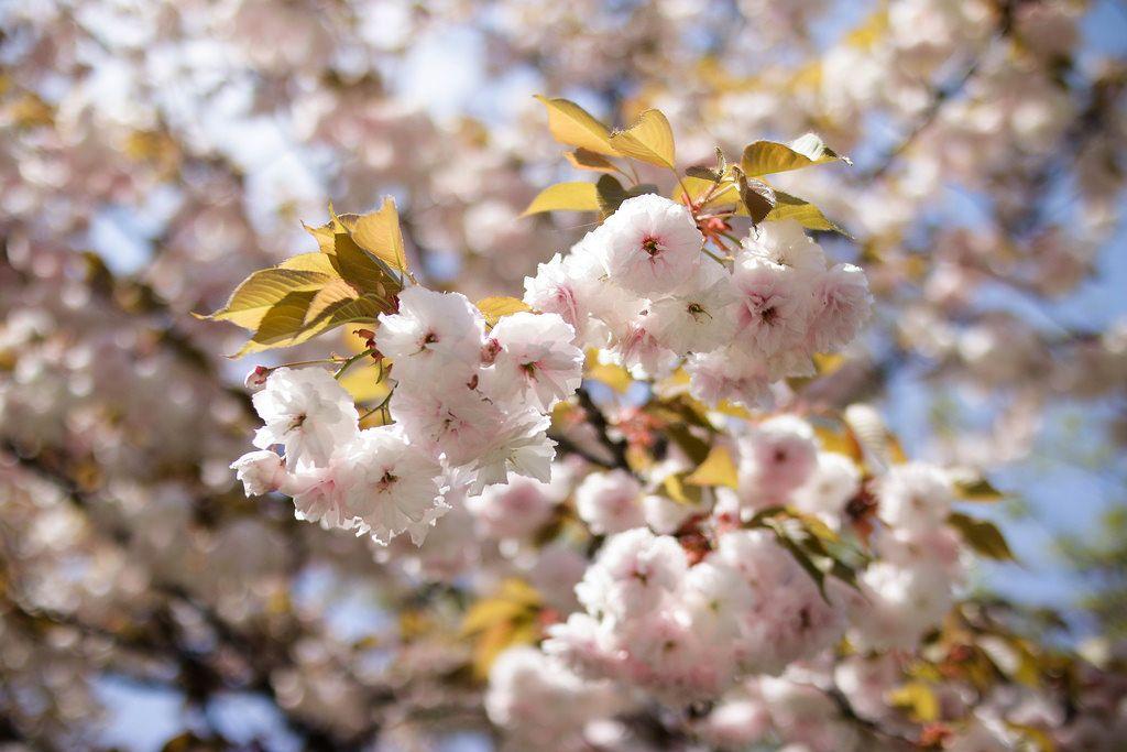 Cherry blossom in springtime