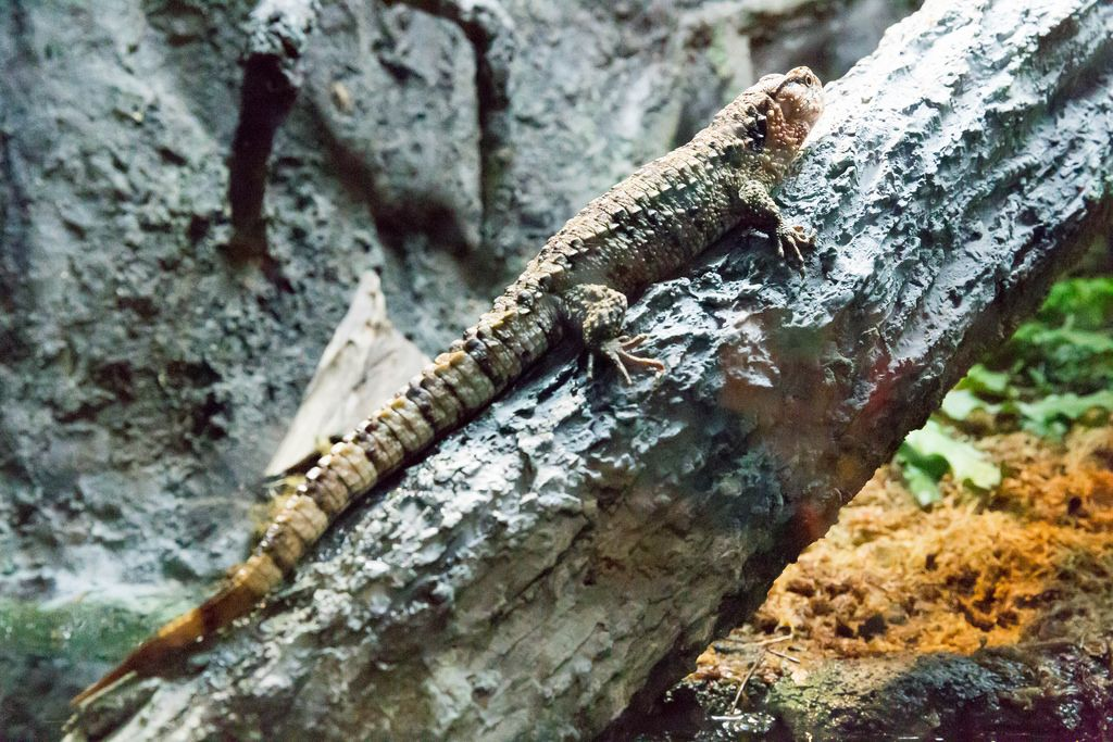 Chinese crocodile lizard (Shinisaurus crocodilurus) at Shedd Aquarium