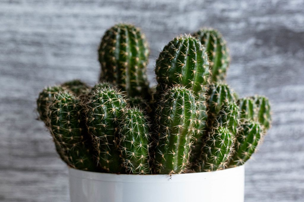 Close-up of cacti species Echinopsis