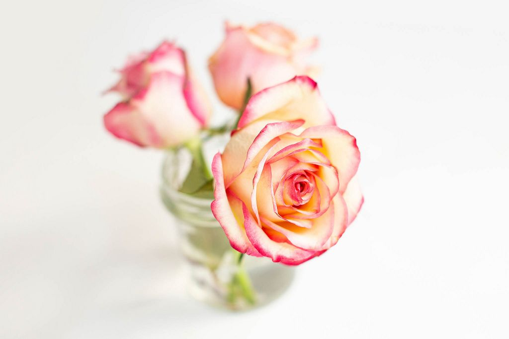 Close up of colorful soft roses on white background