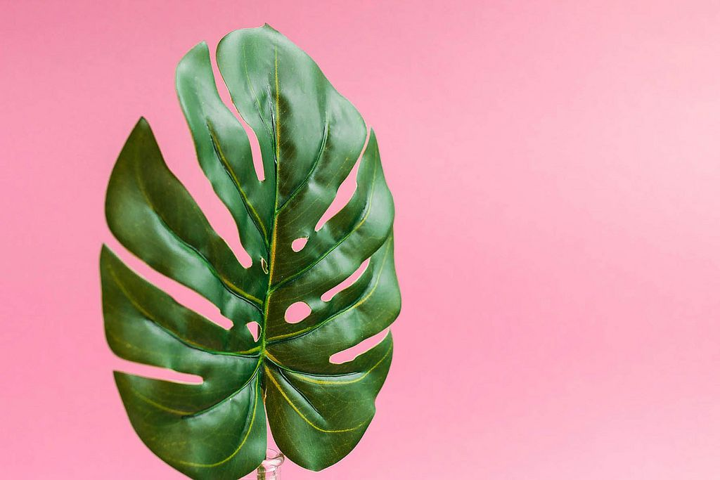 Close up of green leaf on bright pink background.Minimalistic
