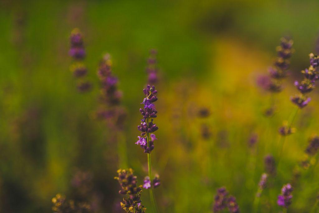 Close up Of Lavander Flower