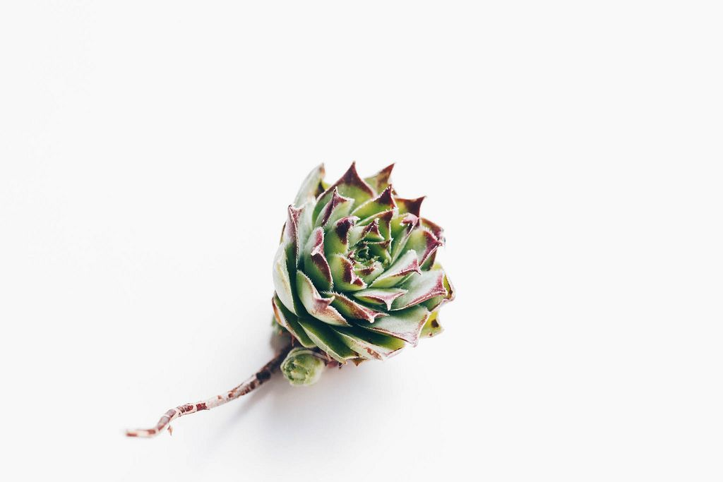 Close up of succulent flower with а root