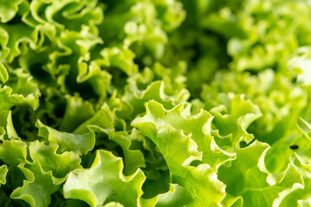 Closeup of Fresh Green Lettuce Salad