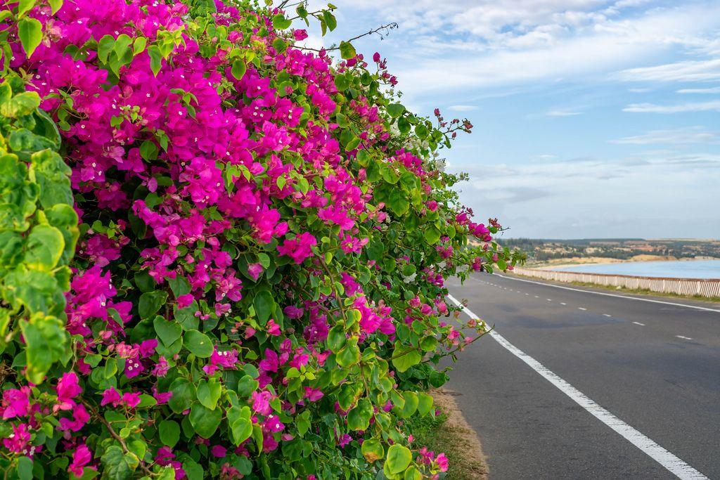 Colorful Flowers on the Way to Mui Ne, Vietnam