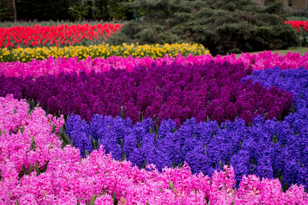Colorful mix of flowers in Keukenhof garden in Amsterdam, The Nederlands