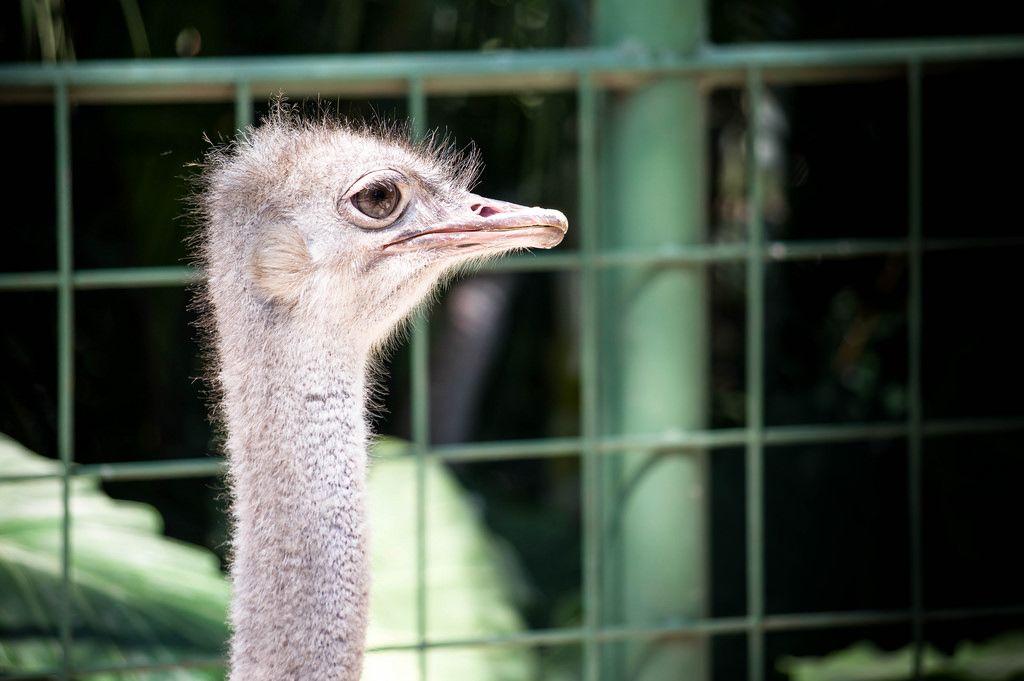 Common female ostrich