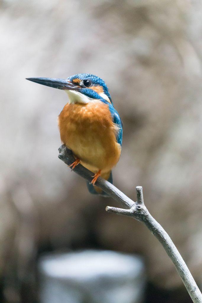 Common Kingfisher / Königsfisch