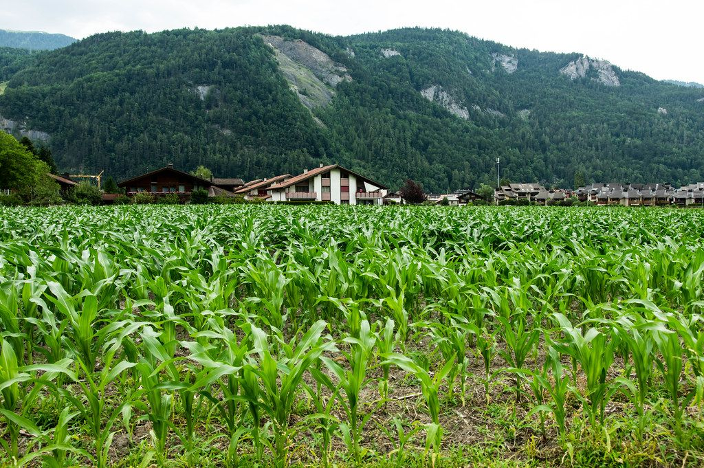 Corn plantation field in the Alps (Flip 2019)
