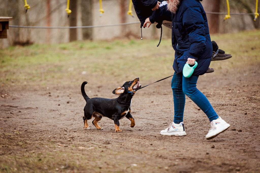 Dachshund  Playing Outdoors With Girl (1).jpg
