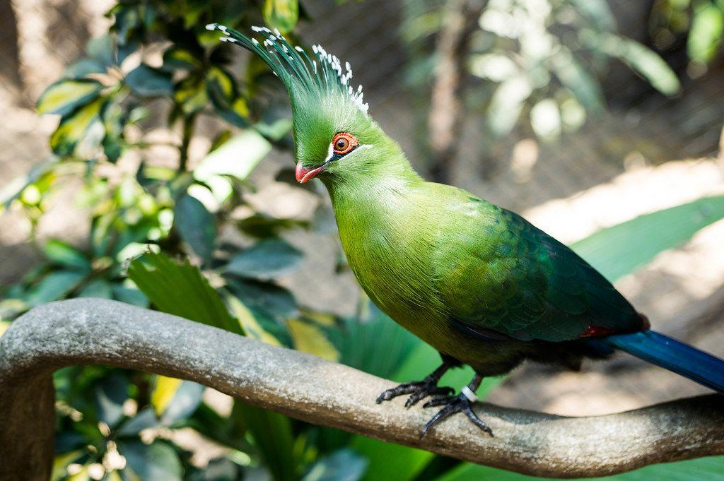 Der grüne Guinea-Turaco wird auch Lourie genannt und hat dekorative Kopffedern