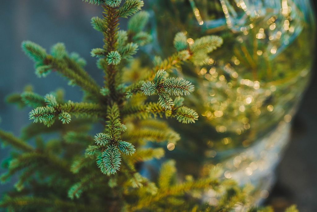 Detail Of Spruce.jpg